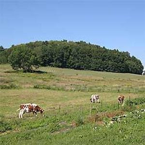 Land Use Field with Cows