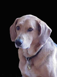 Franklin County Yellow Lab Dog Wears FRCOG Dog Tag
